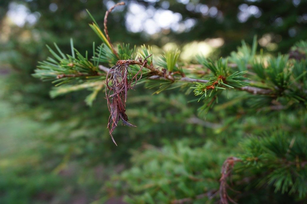 Sirococcus-conigenus-on-cedar-of-Lebanon-