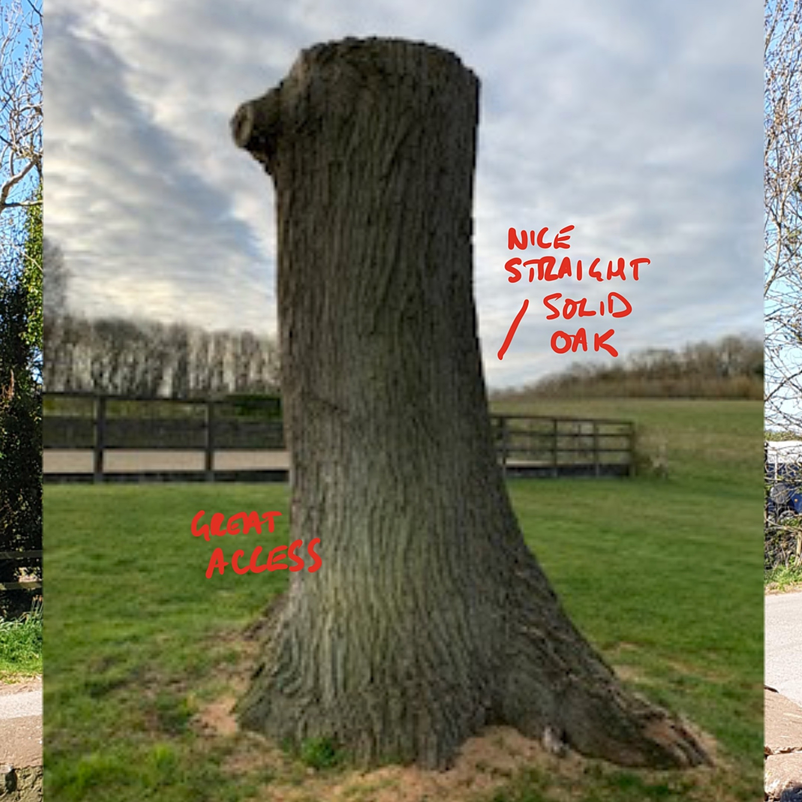 Example of a tree suitable for a tree carving sculpture courtesy of simon o'rourke