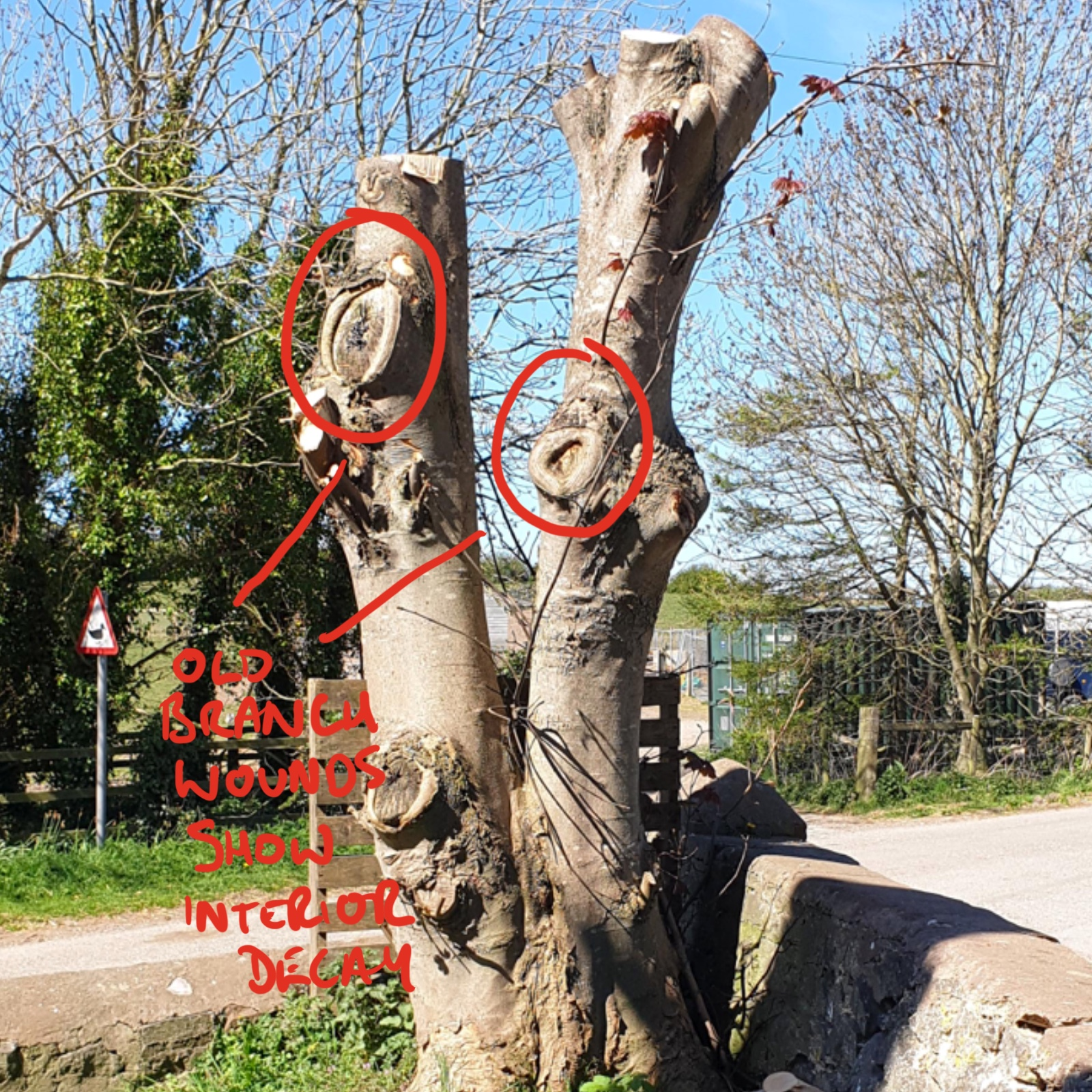 Example of tree not suitable for a tree carving sculpture