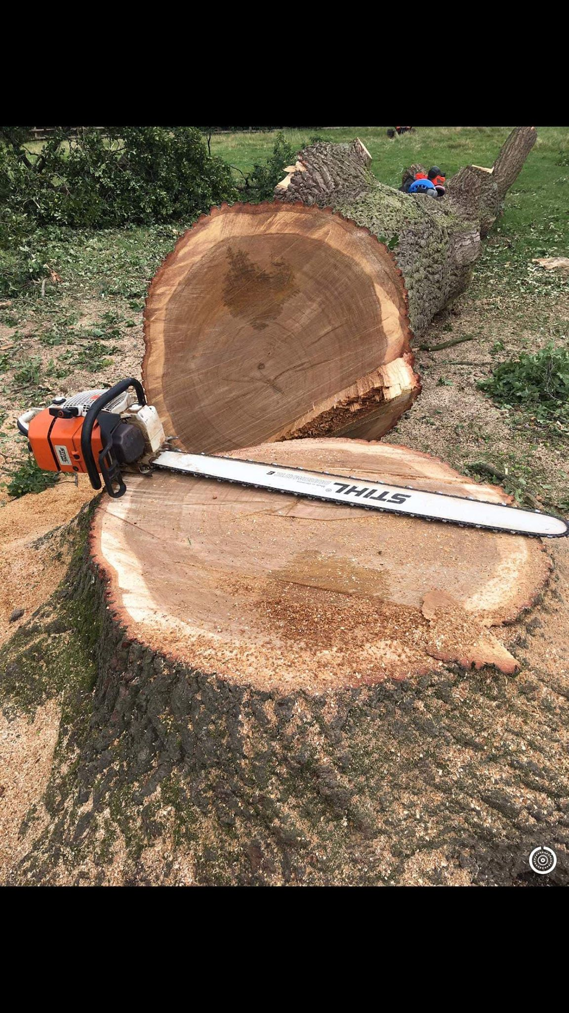 felled oak tree wth a stihl chainsaw