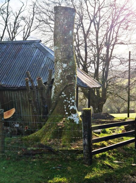 a tree trunk of an ash tree that had to be cut down due to ash die back. It stands in front of a derelict barn and is the base of the Pantpurlais mad hatter sculpture by simon o'rourke