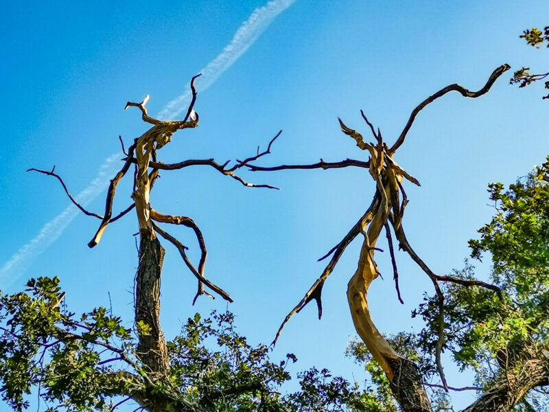 an abstract chainsaw carving sculpture by simon o'rourke  hidien within the branches of an oak tree